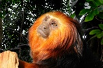 Gyldenhovedet Lvetamarin (Leontopithecus chrysomelas)
